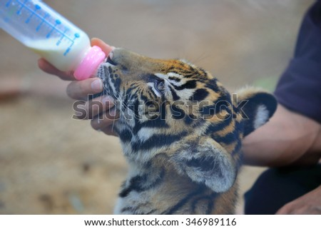 Baby tiger eat milk from bottle - stock photo