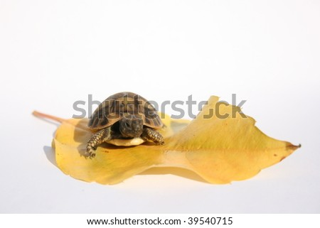 baby turtle standing on leaf isolated on white - stock photo
