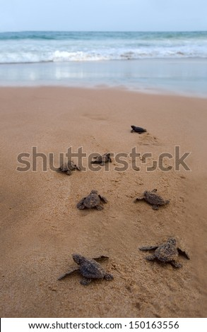 Baby turtles making it's way to the ocean - stock photo