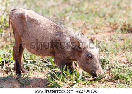 Baby Warthog -Phacochoerus africanus - The common warthog is a wild member of the pig family found in grassland, savanna, and woodland in sub-Saharan Africa. - stock photo