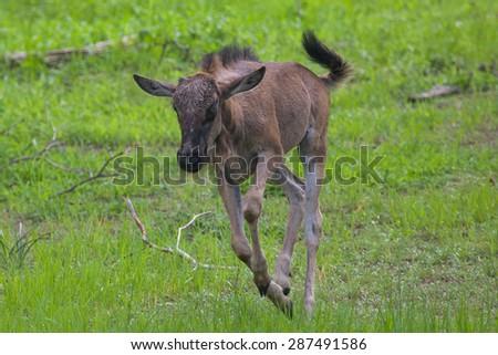 Baby wildebeest running in Mosi-oa Tunya Nation Park, Zambia, Africa   - stock photo