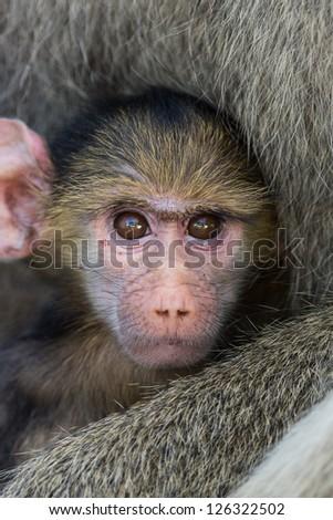 Baby yellow baboon - stock photo