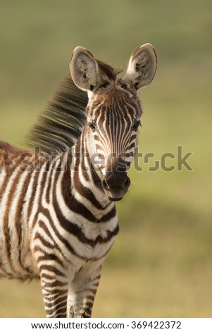 Baby Zebra in Amboseli National Park,, Kenya - stock photo