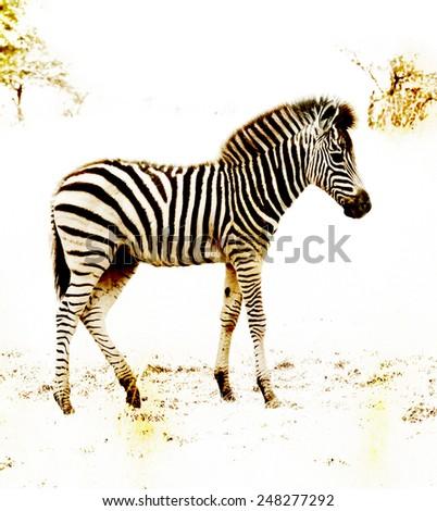 Baby Zebra Walking - stock photo