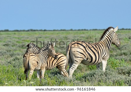 baby zebras in Etosha national park - stock photo
