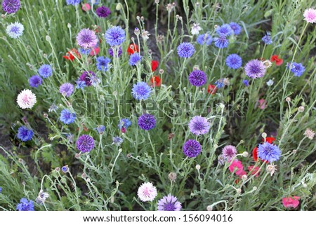 Bachelor's button flowers - stock photo