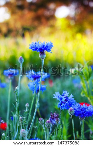 Bachelor's buttons and other wild flowers at sunrise - stock photo