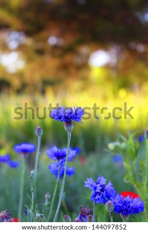 Bachelor's buttons wild flowers - stock photo