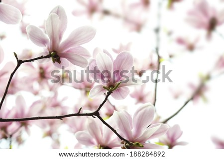 back lighting Magnolia denudata flower in a garden at spring - stock photo