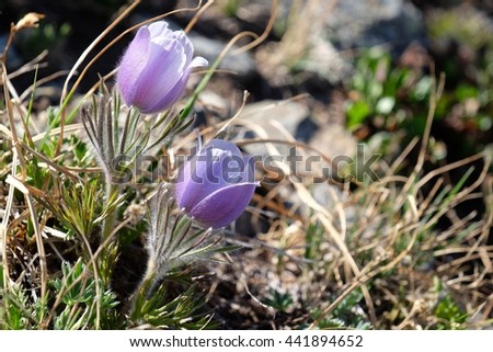 Back lit alpine blue anemones.  Pasque flower or Pulsatilla at Cottonwood Pass near Buena Vista and Denver in Rocky Mountains, Colorado, USA.  - stock photo