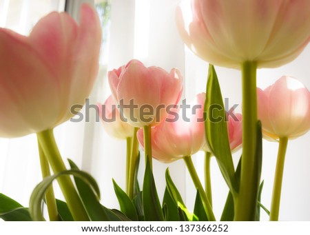 Back lit tulips against window in a sunny day. High key interpretation. - stock photo