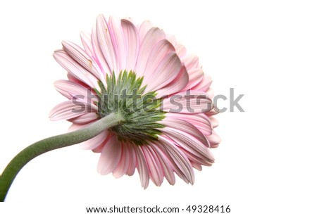 Back of pink gerbera on white background - stock photo