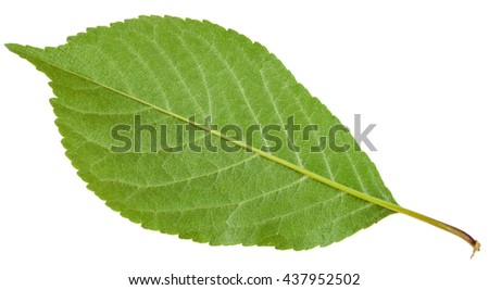 back side of Prunus padus tree green leaf ( bird cherry, hackberry, hagberry, mayday tree) isolated on white background