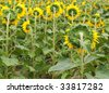 Back view of a beautiful sunflower field with selective focus - stock photo