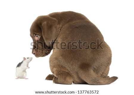 Back view of a Labrador Retriever Puppy and husky rat looking at each other, isolated on white - stock photo
