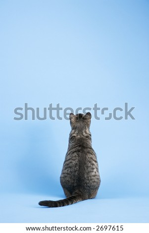 Back view of gray striped cat sitting on blue background. - stock photo