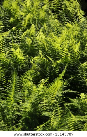 Backdrop of forest ferns