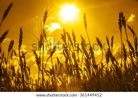 backdrop of ripening ears of yellow wheat field on sunset orange sky background of setting sun on horizon Idea of raw materials for food, rich harvest home heavy crop, harvesting, golden sunny spike - stock photo