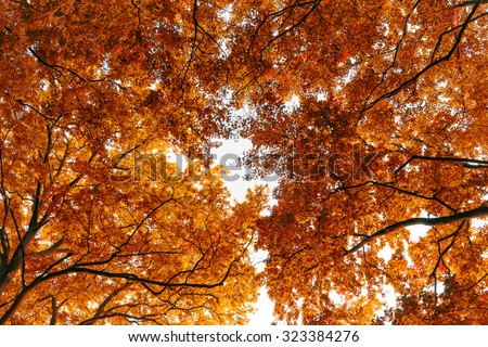 Backgrond of tree in autumn beech forest - stock photo