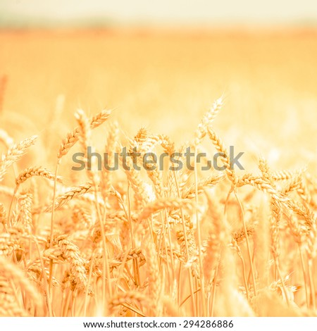 background,, backdrop of  yellow ears on the beautiful golden wheat field - stock photo