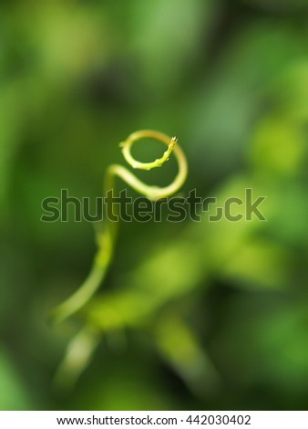 background backdrop picture photo of spiral form young leaves of tropical creeping plant  in garden after rain, green leaves outdoor environment shallow DoF soft focus bokeh background - stock photo