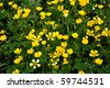 background buttercups - stock photo