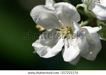 background flower apple - stock photo