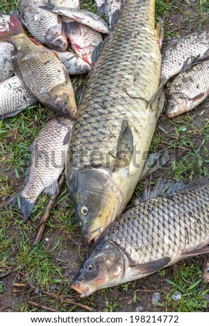 background freshwater fish caught in the river carp, carp and channel catfish - stock photo