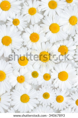 Background from camomile with drop sailing on water - stock photo