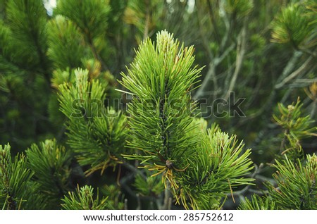 Background from conifer evergreen tree branches, natural seasonal background - stock photo