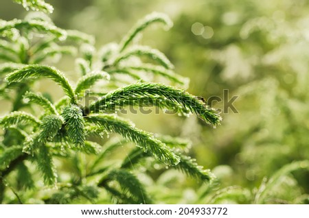 Background from conifer evergreen tree branches with dew water drops - stock photo
