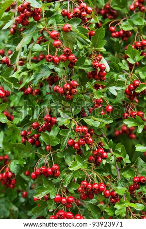 Background from leaves and hawthorn fruits