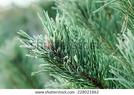 Background from pine iced tree branches with morning frost, seasonal holiday image - stock photo