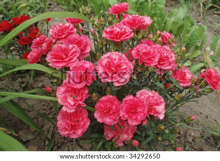 Background from red and pink carnation - stock photo