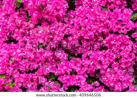 Background from ripe pink bougainvilleas with small white flowers - stock photo