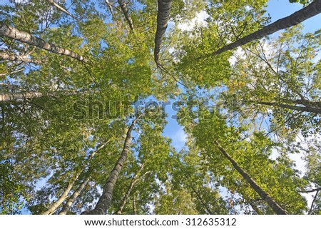 Background from the birch trees - stock photo