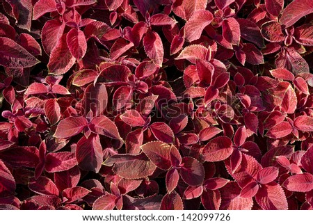 Background from the leaves of coleus - stock photo
