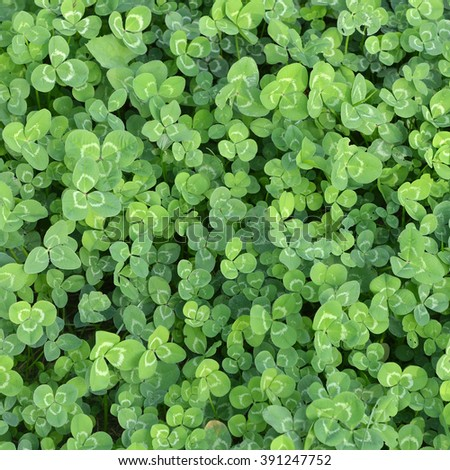 Background. Green leaves of a clover in the field. - stock photo
