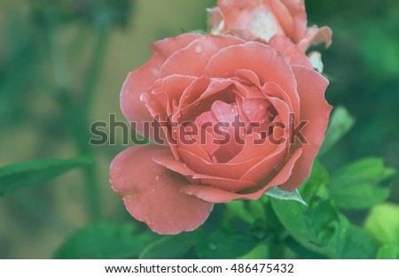 Background image of roses,vintage tone