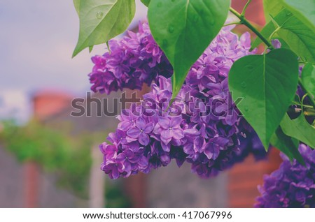 Background. Lilac blooming lilacs. Lilac flowers.  - stock photo