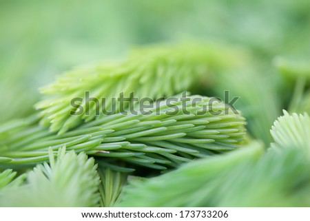Background made from freshly picked young spruce sprouts - stock photo