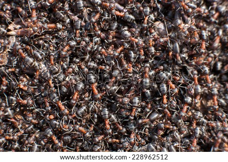 Background of a Red Ant colony (Formica rufa). - stock photo
