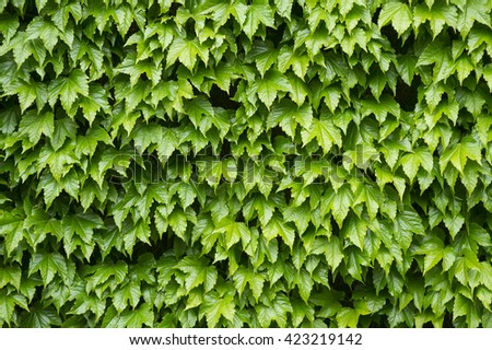 Background of bright green ivy wall with leaves wet from spring rain - stock photo