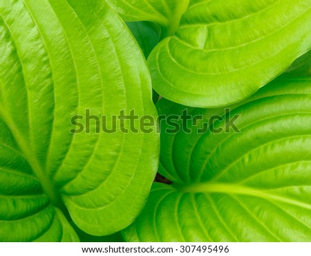 Background of bright green ribbed hosta leaves close up