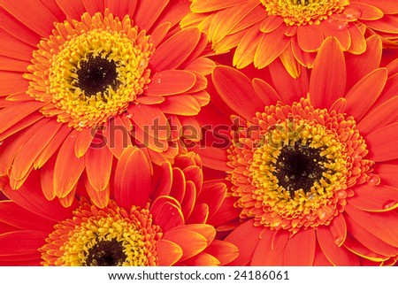 Background of bright orange gerber daisies with dew drops