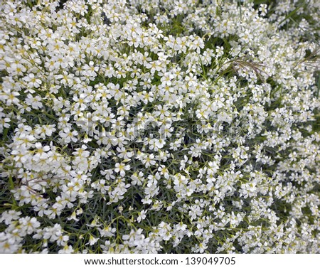 Background bushes white flowers spring stock photo royalty free background of bushes of white flowers in spring mightylinksfo