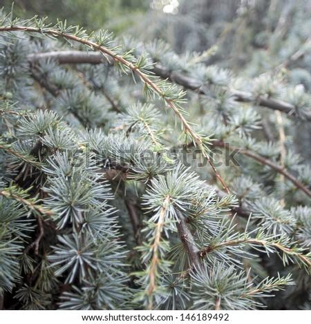 Background of Cedrus libani (cedar of Lebanon) branches - stock photo