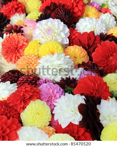 Background of colorful Dahlia flowers. Shallow dof, focus on the center. - stock photo