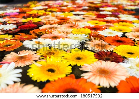 Background of colorful daisy flowers floating on water.