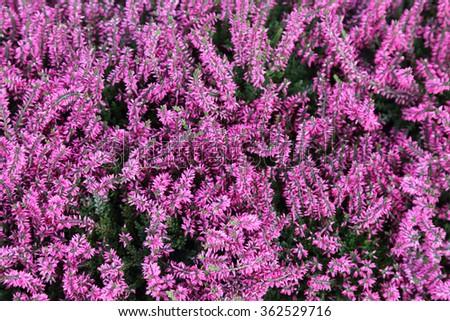 background of common heather or calluna vulgaris - stock photo